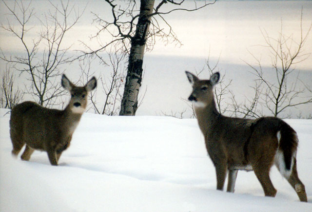 A pair of Whitetail deer.