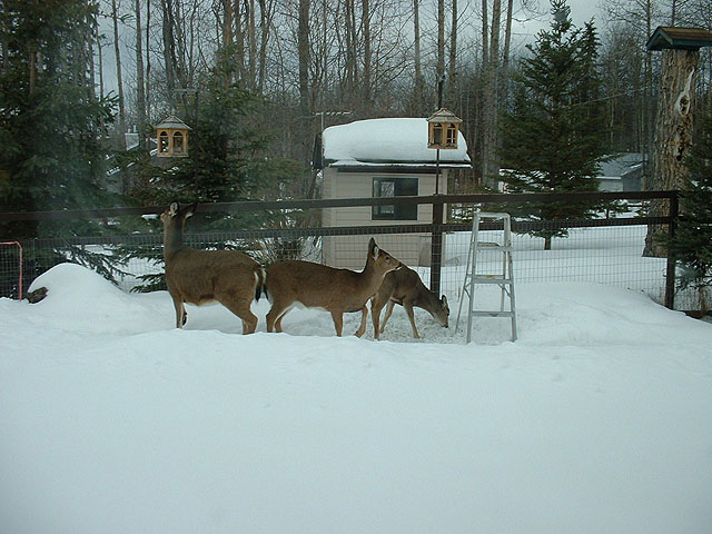 Family of Whitetail deer at our birdfeeder.