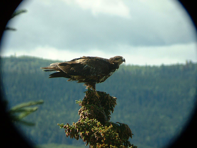 Juvenile bald eagle still wet from a plunge in the lake after a fish.