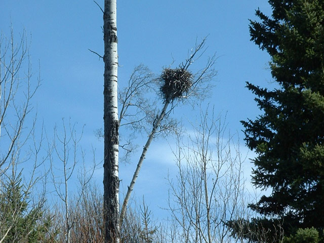 Bald Eagle nest in poplar tree, almost brought down by the weight of winter snow.