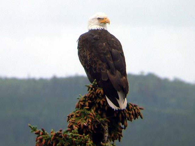 Bald eagle watching for a fish dinner.