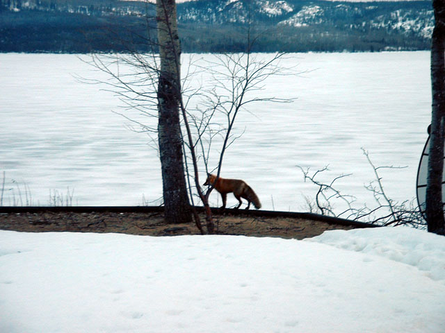 What a difference a day makes. Four inches of new snow has melted and a red fox welcomes bare ground.