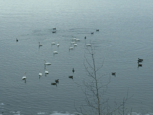Swans and Canada Geese resting before continuing their flight north.